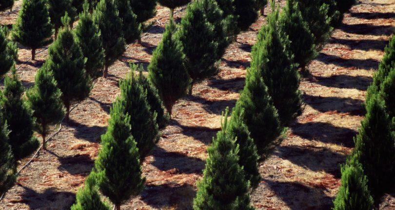 conifer-78402974